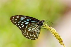 Błękitny tygrys Obraz Stock