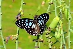 Błękitny Tygrysi motyl Obrazy Royalty Free