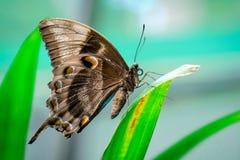 Błękitny Ulysses motyl Zdjęcie Royalty Free