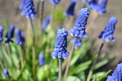 Błękitny urok, jaskrawy błękit kwitnie Muscari, zdjęcia royalty free
