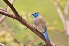 Błękitny Waxbill żerdź błękit - Afrykański Dziki Ptasi tło - Obraz Royalty Free