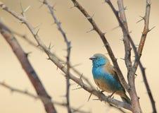 Błękitny Waxbill piękno i cierń - Dziki Ptasi tło od Afryka - Obraz Royalty Free
