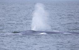 Błękitny wieloryb z Kalifornia fotografia royalty free