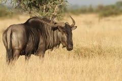 błękitny wildebeest Obrazy Royalty Free