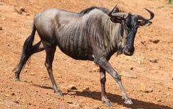Błękitny wildebeest, Connochaetes taurinus zdjęcie royalty free