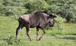 Błękitny wildebeest, Connochaetes taurinus obraz stock
