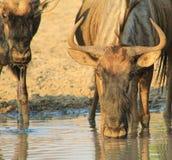 Błękitny Wildebeest - Matka i Łydka fotografia royalty free
