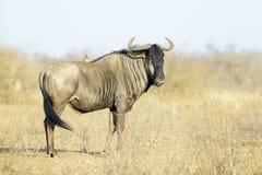 Błękitny wildebeest na sawannie Zdjęcia Royalty Free