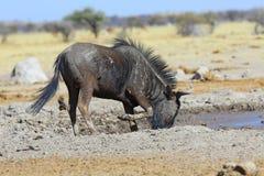 Błękitny wildebeest przy waterhole Zdjęcia Royalty Free