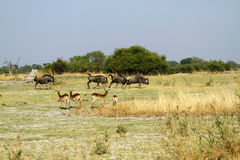 Błękitny Wildebeest Rutting obraz royalty free