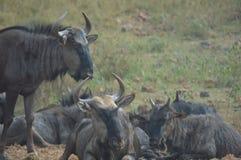 Błękitny wildebeest w Kruger parku narodowym fotografia stock
