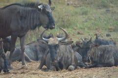 Błękitny wildebeest w Kruger parku narodowym zdjęcia stock