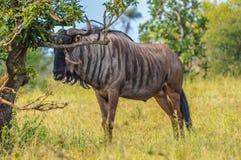 Błękitny wildebeest w Kruger parku narodowym Południowa Afryka zdjęcie royalty free