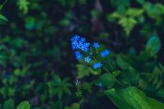 Błękitny wildflower w ciemności las Obrazy Stock