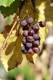 błękitny winogrona Fotografia Royalty Free