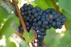 błękitny winogrona Obrazy Stock