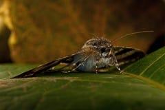 Błękitny wstęgówki Catocala fraxini Fotografia Royalty Free