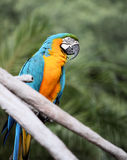 błękitny złocista ara Zdjęcia Stock