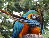 błękitny złocista ara Zdjęcie Royalty Free