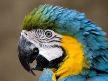błękitny złocista ara Zdjęcia Royalty Free