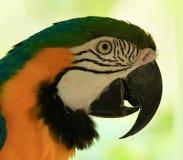 Błękitny & złoto, papuga, amazonki papuga Obraz Stock