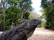 błękitny zagrażająca iguana Fotografia Royalty Free