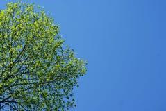 błękitny zieleni nieba drzewo Zdjęcie Royalty Free