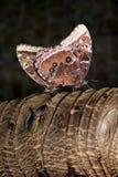 Błękitnych Morpho Morpho peleides motyli tropikalny matować Obrazy Royalty Free