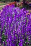 Błękitnych szałwii Lawendowy kwiat w ogródzie i Zamazujący wiatrem dla tekstury tła Fotografia Royalty Free