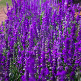 Błękitnych szałwii Lawendowy kwiat w ogródzie i Zamazujący wiatrem dla tekstury tła Obraz Stock