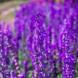 Błękitnych szałwii Lawendowy kwiat w ogródzie i Zamazujący wiatrem dla tekstury tła Obrazy Stock
