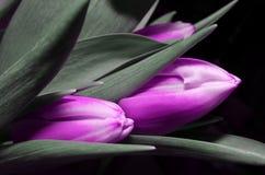 Błękitnych tulipanów kwiaty Obrazy Royalty Free