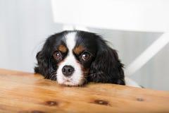 błagał, pies Zdjęcie Stock