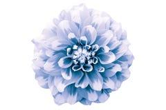 Bławego i białego dalia kwiatu makro- fotografia Obrazuje kolor tonującego uwydatniający w zawiły sposób geometrycznego wzór i te Obraz Royalty Free