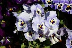 Bławy z centrum Dzikim pansy lub altówka tricolor małymi dzikimi kwiatami z jaskrawymi płatkami gęsto zasadzającymi wewnątrz biel fotografia stock