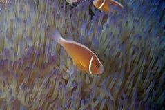 Błazen łowi (Nemo) Obraz Royalty Free
