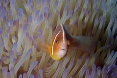 Błazen łowi (Nemo) Zdjęcie Stock