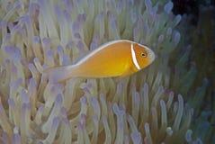 Błazen łowi (Nemo) Zdjęcie Royalty Free