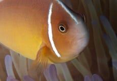 Błazen łowi (Nemo) Fotografia Stock