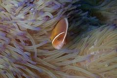 Błazen łowi (Nemo) Zdjęcia Stock