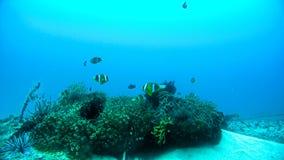 Błazen Łowi przy podwodną rafą koralowa Zdjęcia Stock
