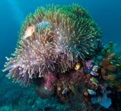 błazen anemonowa duży ryba Indonesia zdjęcia stock