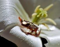 Błazen Drzewna żaba Zdjęcia Stock