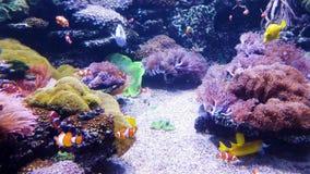 Błazen ryba i inny egzotyczny rybi pływanie w akwarium z dennymi roślinami na tle zdjęcie wideo