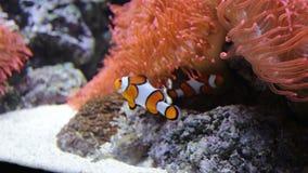 Błazen ryba pływa w anemonowym krzaku zdjęcie wideo