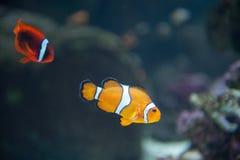 Błazen ryba przy akwarium Pacyfik w Long Beach obrazy stock