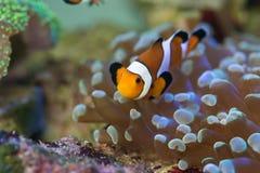 Błazen ryba z koralami fotografia royalty free