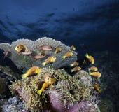 Błazenu anemon i ryba fotografia stock