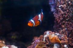 Błazenu anemon lub ryba Cudowny i piękny podwodny świat z zdjęcie royalty free