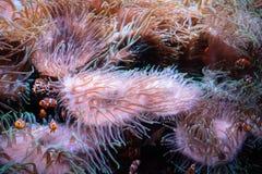 Błazenu anemon wśrodku akwarium rybiego zbiornika i ryby - zdjęcia stock